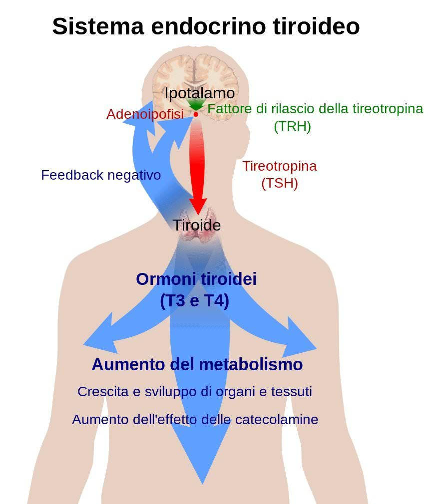 Tiroidite-sintema-endocrino