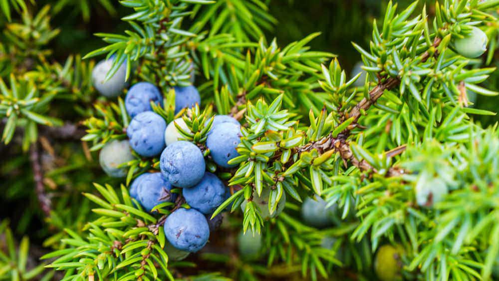 7 Bacche commestibili e tossiche in autunno su arbusti e alberi