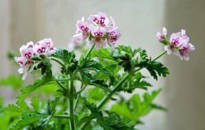 geranio fiorito