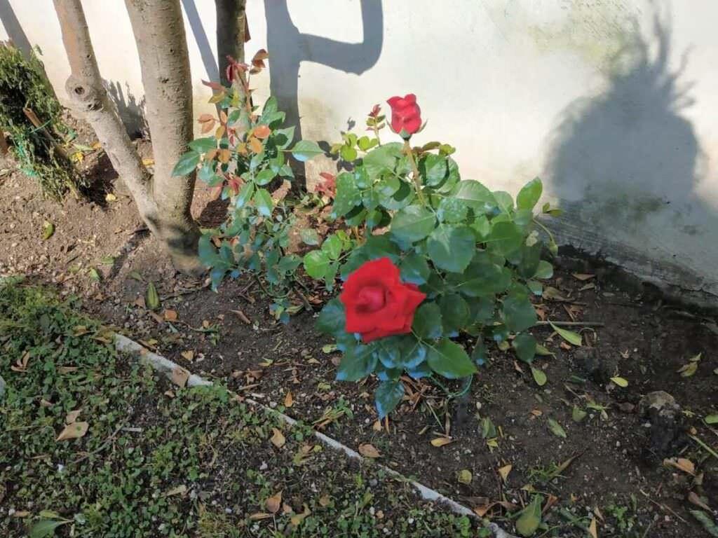Il significato colori delle rose nelle diverse sfumature