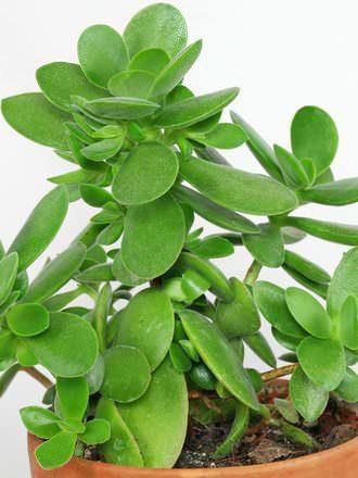8 proprietà curative crassula e origine pianta Grassa Crassula Ovata.