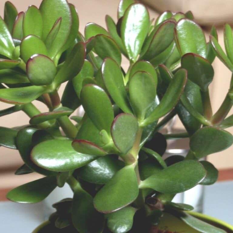 8 proprietà curative Crassula e origine pianta grassa