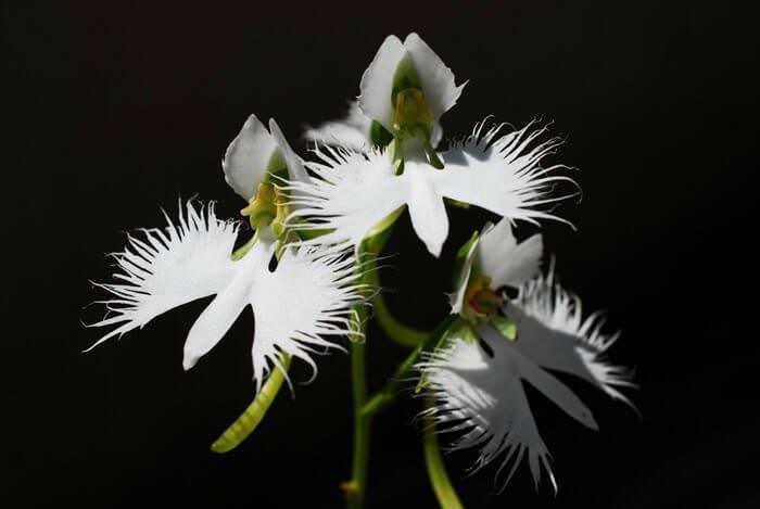 moth orchid habenaria radiata