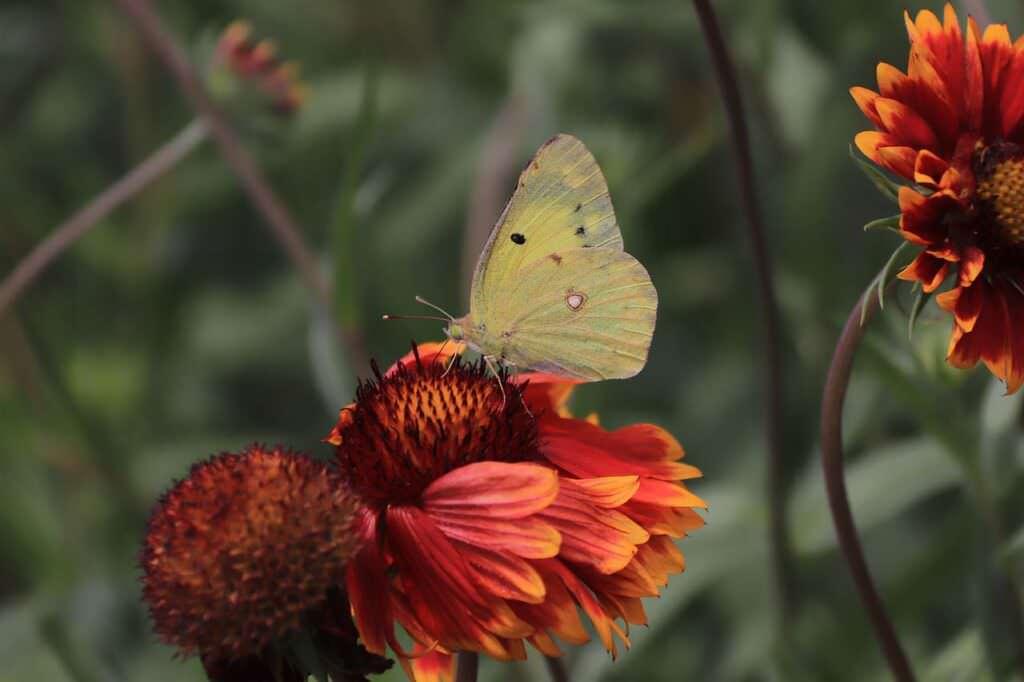 15 piante che attraggono le farfalle in primavera