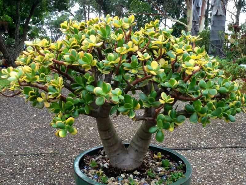 albero di giada