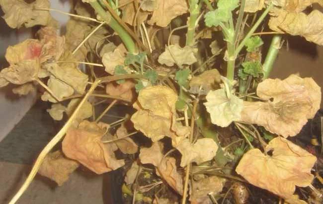 Cosa devo fare se le foglie di geranio ingialliscono?